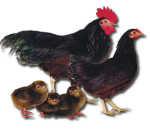 Rhode Island Red Bantam - Straight Run