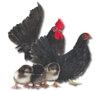 Japanese Bantam - Black - Straight Run