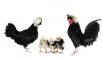 Polish Bantam - White Crested Black - Straight Run