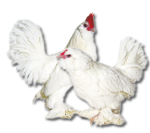 d'Uccle Bantam - White - Straight Run