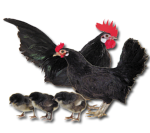 Dutch Bantam - Black - Straight Run