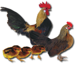 Dutch Bantam - Golden Partridge - Straight Run