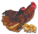 Cochin Bantam - Red - Straight Run